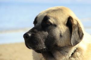 Herdenschutzhunde Charaktereigenschaften Und Haltung