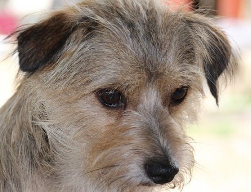 Mittelmeerkrankheiten Hund – ein Überblick – Teil 1