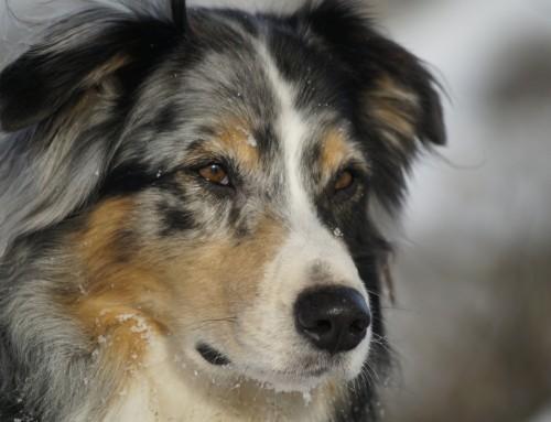 Hütehunde und Treibhunde (FCI 1)