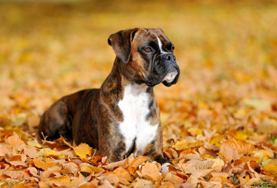Dominanter-Hund