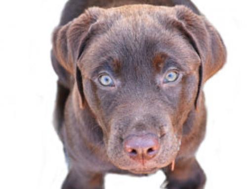 "Das ""weiche Maul"" des Labradors"