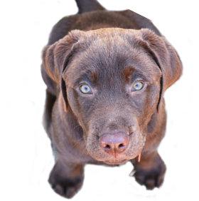 Labrador-Maul